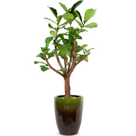 떡갈고무나무 s1540