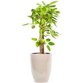 뱅갈고무나무 m1681