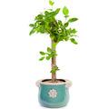 뱅갈고무나무 m1682
