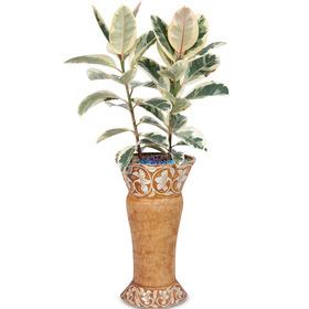 뱅갈고무나무 m1003