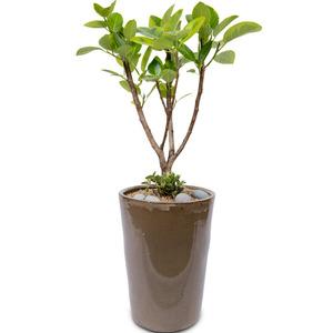 뱅갈고무나무 m2001