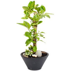뱅갈고무나무 m1769