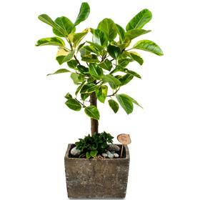 뱅갈고무나무 m1795