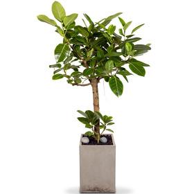 뱅갈고무나무 m2109