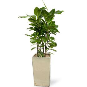 뱅갈고무나무 m2108