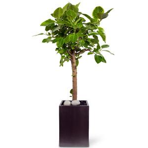 뱅갈고무나무 m2107