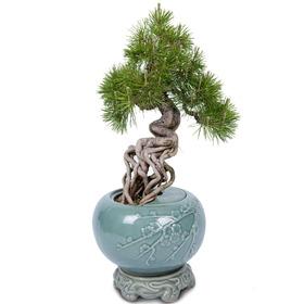 도자기소나무분재 m560