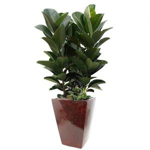 고무나무 m2011