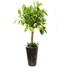 뱅갈고무나무 m3200
