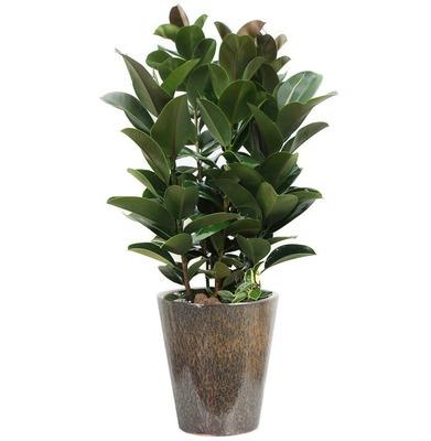 고무나무 m2002