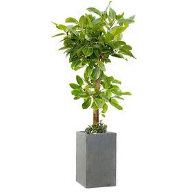 뱅갈고무나무 m2020