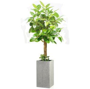 뱅갈고무나무 m2025