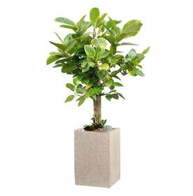 뱅갈고무나무 m0080