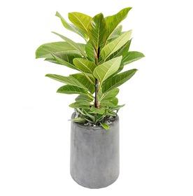뱅갈고무나무 m603