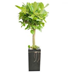 뱅갈고무나무 m609