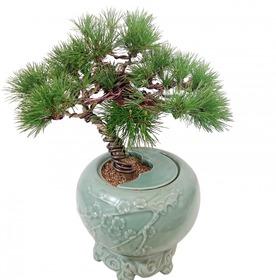 도자기소나무분재m600
