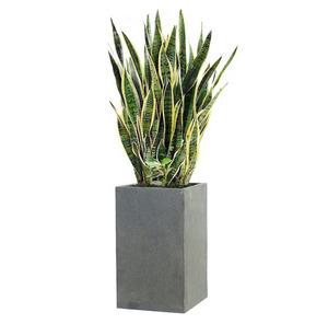 산세베리아 m2020