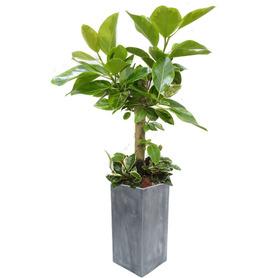 뱅갈고무나무 m2050