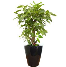뱅갈고무나무 m1613