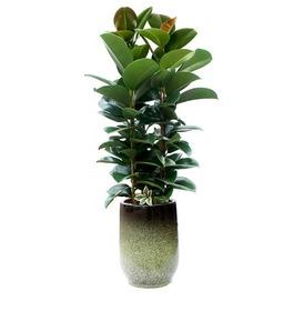 고무나무 m1628