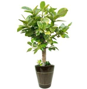 뱅갈고무나무 m1636