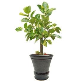 뱅갈고무나무 m1637