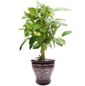 뱅갈고무나무 m1639