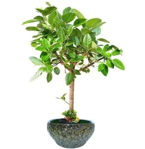 뱅갈고무나무 m1640