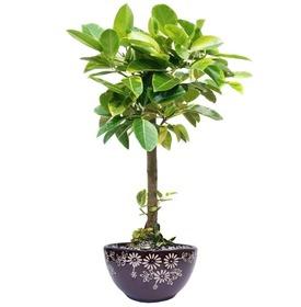 뱅갈고무나무 m1641