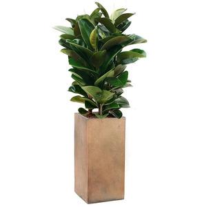 고무나무 m1746