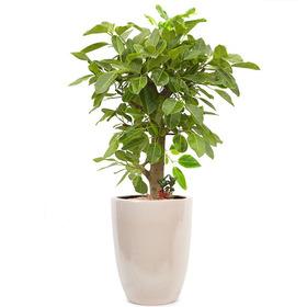 뱅갈고무나무 m1668