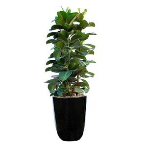 고무나무 m1683