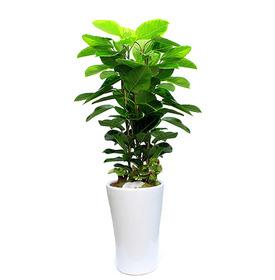 뱅갈고무나무 m1684